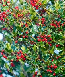 Types Of Christmas Trees Uk by Send Holly Tree Gift Uk Buy Ilex Aquifolium Trees By Post