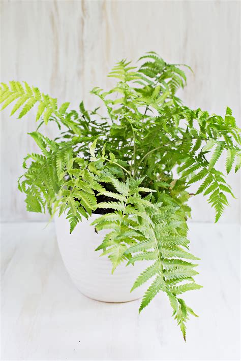 low light indoor plants safe for cats related keywords suggestions for non toxic ferns