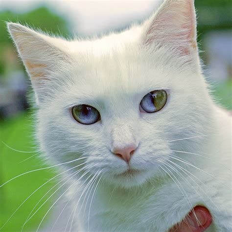 eyes cat cats different colored multi colors heterochromia incredibly eye pretty coloured eyed top13 cute kitty gorgeous multicolor called stunning