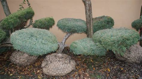 Garten Bonsai Winterfest Machen by Gartenbonsai Winterhart