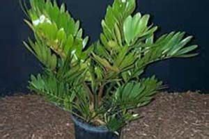 cardboard palm aspca