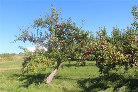 New England's Apple Crop Approaching Its Peak New