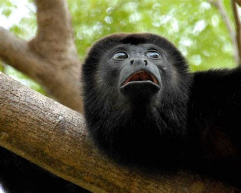 mono negro  fondos de pantalla  wallpapers