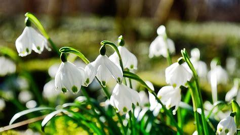 hintergrundbilder fruehlingsblumen schneegloeckchen