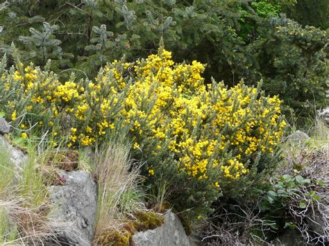 Gorse  Invasive Species Council Of British Columbia