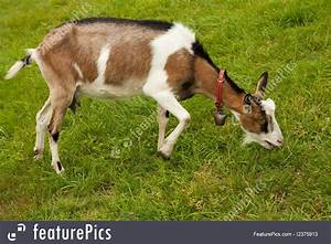 Goat On The Grazing Land Stock Picture I2375913 At Featurepics
