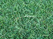 lawn grass scientific name eremochloa ophiuroides wikipedia