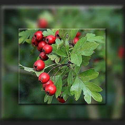 Beeren Im Herbst by Rote Beeren Herbst Rote Beeren Im Herbst Herbst Beeren