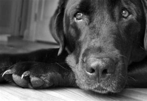 black dogs face  hard choice  shelter  bark