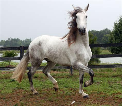 andalusian horses horse venomxbaby grey animals nico spanish stallion deviantart mustangs pre