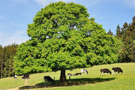 chestnut trees in chestnut tree zuluyankee galleries digital photography review