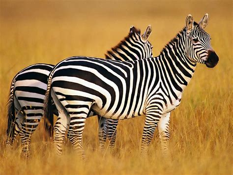 Wallpapers Zebra Wallpapers