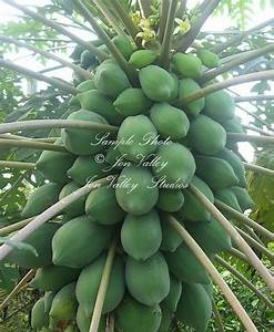Carica papaya Tree 15 Seeds Dwarf Papaya Yellow Star flowers