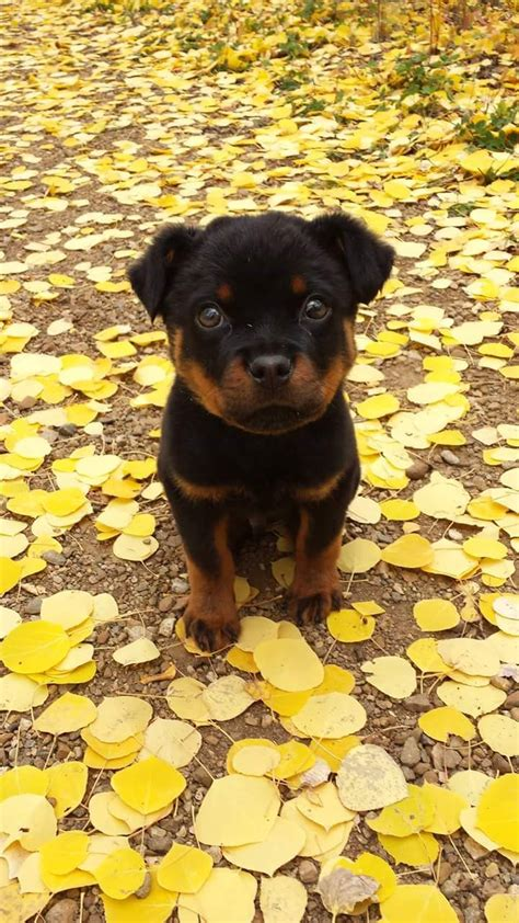 best 25 baby rottweiler ideas on pictures of