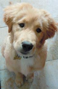 Cute Baby Golden Retriever Puppy