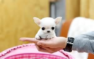 Apple Head Chihuahua Puppies