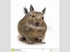 Degu Haustier Lizenzfreie Stockfotos Bild 21139368