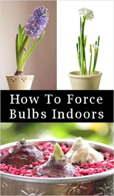 forced bulbs forcing bulbs indoors for winter blooms how to tips garden inspiration pinterest bulbs