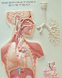 Labeled Cat Respiratory System