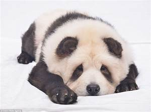 They babies Owner dyed panda dogs hits critics saying cruel claims colouring 100 cent organic eye check ups nail trims