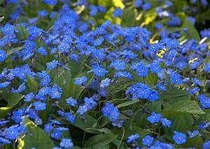 Blau Blühender Bodendecker : omphalodes verna waldvergissmeinnicht blau bl hender bodendecker garten steingarten ~ Frokenaadalensverden.com Haus und Dekorationen