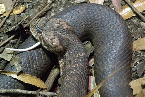 Common death adder - ABC News (Australian Broadcasting ...