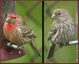 Male & Female House Finch