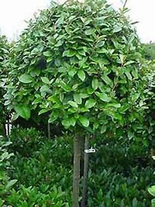 Baum Vorgarten Immergrün : elaeagnus ebbingei wintergr ne lweide immergr ne ~ Michelbontemps.com Haus und Dekorationen