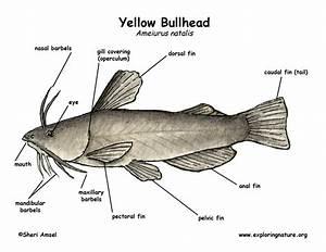 Bullhead  Yellow