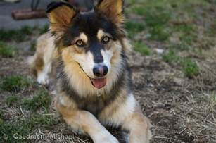 Shepsky German Shepherd Husky Mix