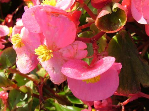 begonia flower romantic flowers december 2012