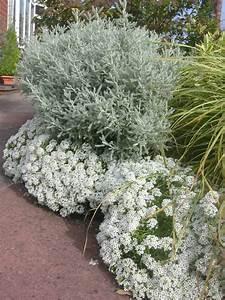 Pflanze Mit Z : zypressen heiligenkraut pflanzen f r h bsche farbtupfer im ~ Lizthompson.info Haus und Dekorationen