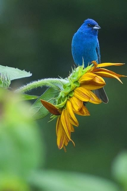 blue bird on sunflower things for my wall pinterest