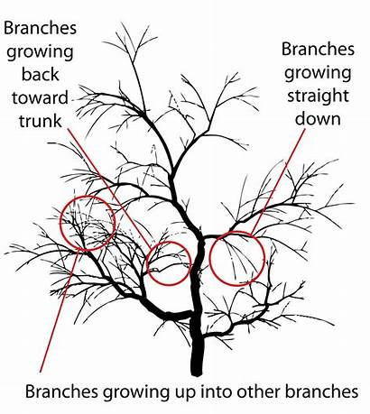 Prune Pruning Types Renewal Plants Severe Branch