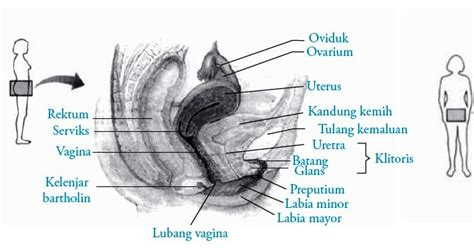 Wanita Mengandung 6 Bulan Organ Alat Reproduksi Dalam Pada Wanita Struktur Dan