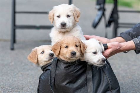 11 Golden Retriever Puppies Ready For Adoption From