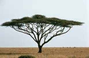 file umbrella acacia or israeli babool tree plant acacia tortillis jpg