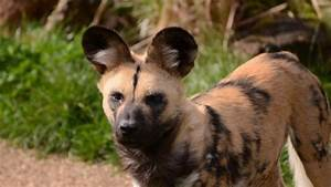 Image - Other-painted-dogs-african-wild-dogs-lycaon-pictus ...