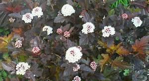 Gartensträucher Blühend Winterhart : 18 gartenstr ucher mit roten bl ttern f r sch ne gartengestaltung ~ Orissabook.com Haus und Dekorationen