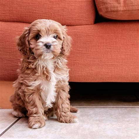 cavadoodles images  pinterest cavapoo puppies