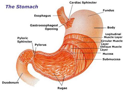 Diagram Of Stomach And by Cancers Diagram Of Stomach