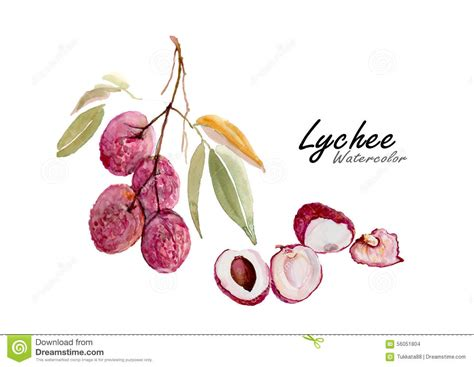 lychee fruit drawing lychee hand drawn watercolor painting night time with