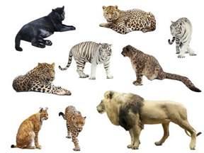 cat species oldest big cat fossils suggest species roared in asia