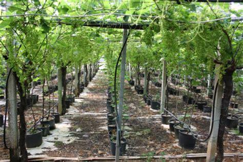 varietà uva da tavola uva da tavola le caratteristiche produttive delle nuove