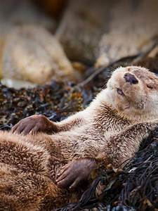 Otter, Chillin, U2013, Bing, Wallpaper, Download