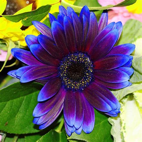 gerbera daisies colors 17 best ideas about gerbera colors on