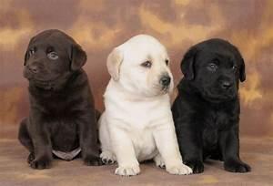 Chocolate And White Labrador Retriever Pups - Golfian.com