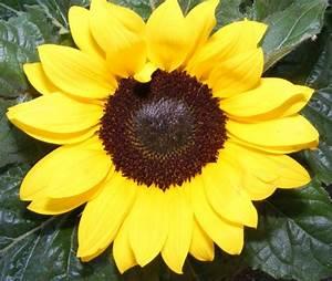 Sonnenblume Im Topf : mini sonnenblume jk 39 s pflanzenblog ~ Orissabook.com Haus und Dekorationen