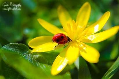 Spring Ladybug Flower Flora Fauna Flowers Fiesta