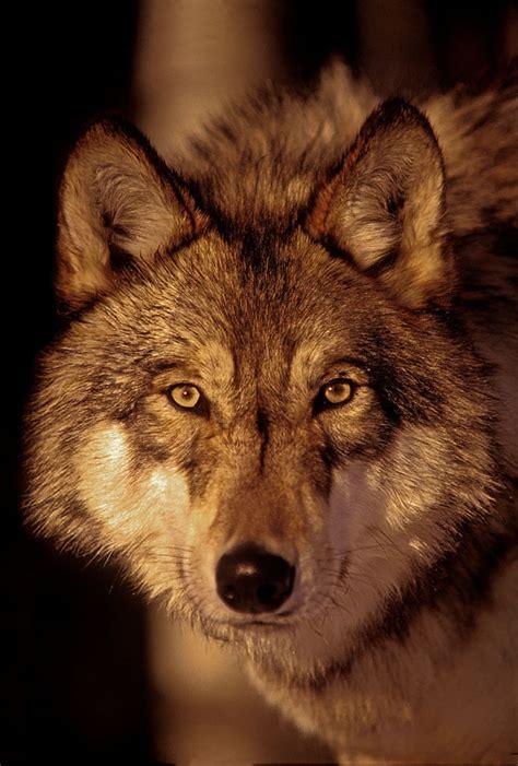 Wild Animals Wolf Pack